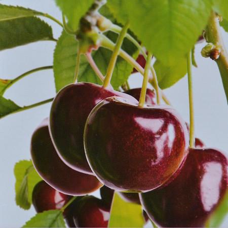 Prunus avium 'Hedelfinger' - kers