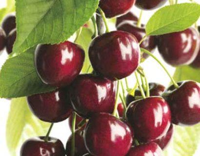 Prunus avium 'Kordia'