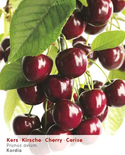 Prunus avium 'Kordia' - kers