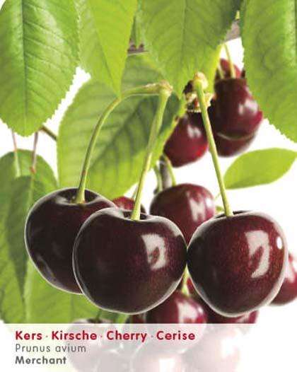 Prunus avium 'Merchant' - kers