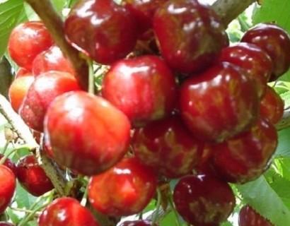 Prunus avium 'Schneider's Späte Knorpelkirsche'