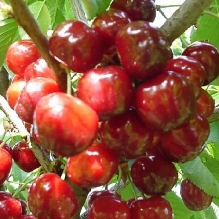 Prunus avium 'Schneider's Späte Knorpelkirsche' - kers
