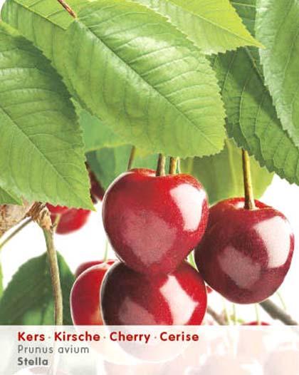 Prunus avium 'Stella' - kers
