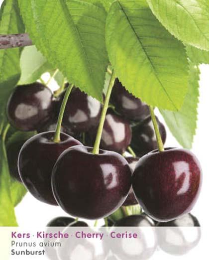 Prunus avium 'Sunburst' - kers