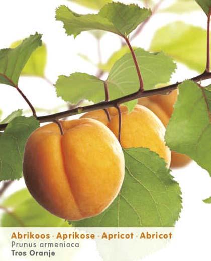 Prunus armeniaca - abrikoos