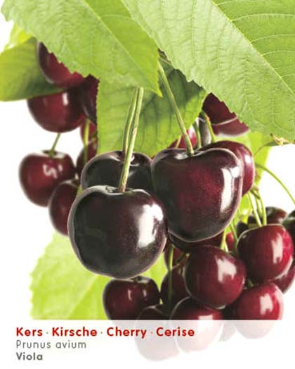 Prunus avium 'Viola' - kers