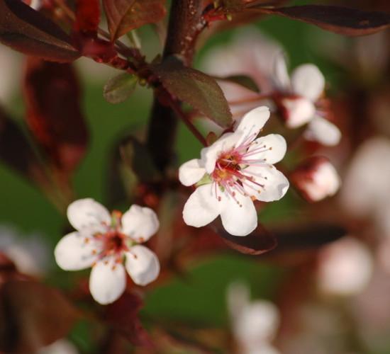 Prunus cistena - sierkers