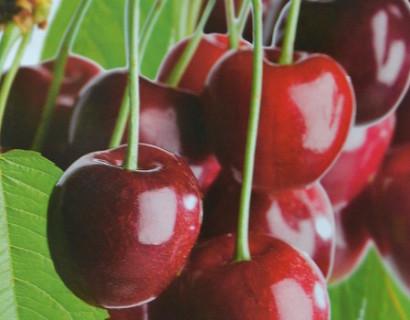 Prunus cerasus 'Morel'