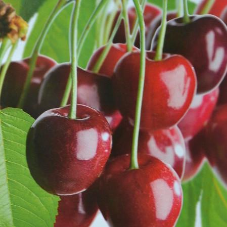 Prunus cerasus 'Morel' - zure kers, kriek