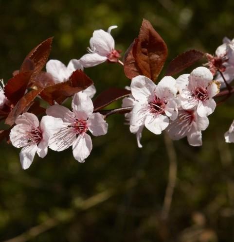 Prunus cerasifera 'Nigra' - sierpruim