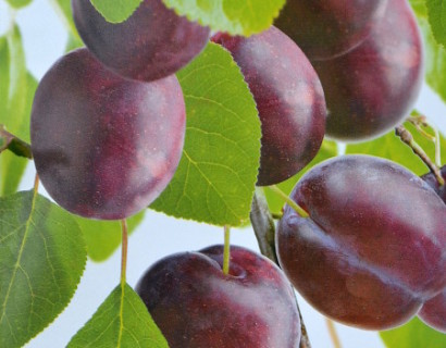Prunus domestica 'Anna Späth'