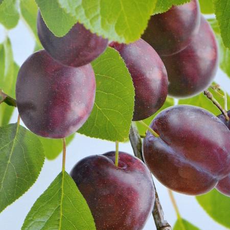 Prunus domestica 'Anna Späth' - pruim