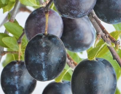Fruitbomen hoogstam blote wortel