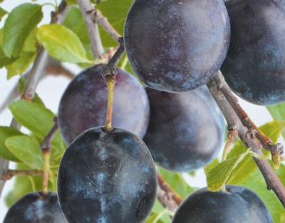 Prunus domestica 'Bleue de Belgique'