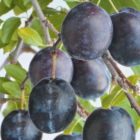 Prunus domestica 'Bleue de Belgique' - pruim
