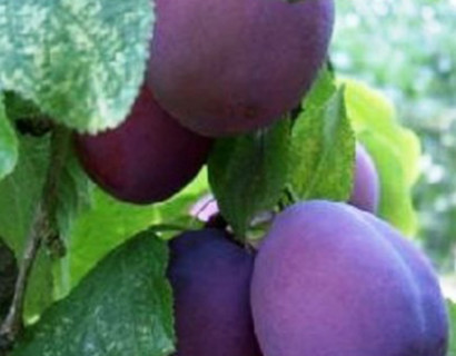 Prunus domestica 'Belle de Louvain'