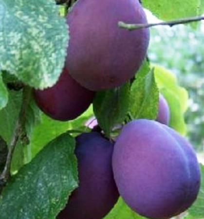 Prunus domestica 'Belle de Louvain' - pruim