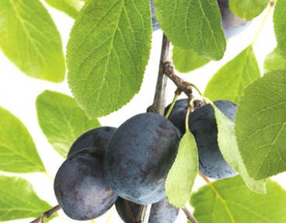 Prunus domestica 'Betuwse Kwets'