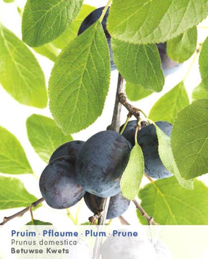 Prunus domestica 'Betuwse Kwets' - pruim