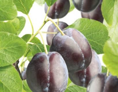 Prunus domestica 'Czar' - pruim