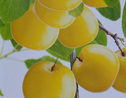 Prunus domestica 'Mirabelle de Nancy' - pruim
