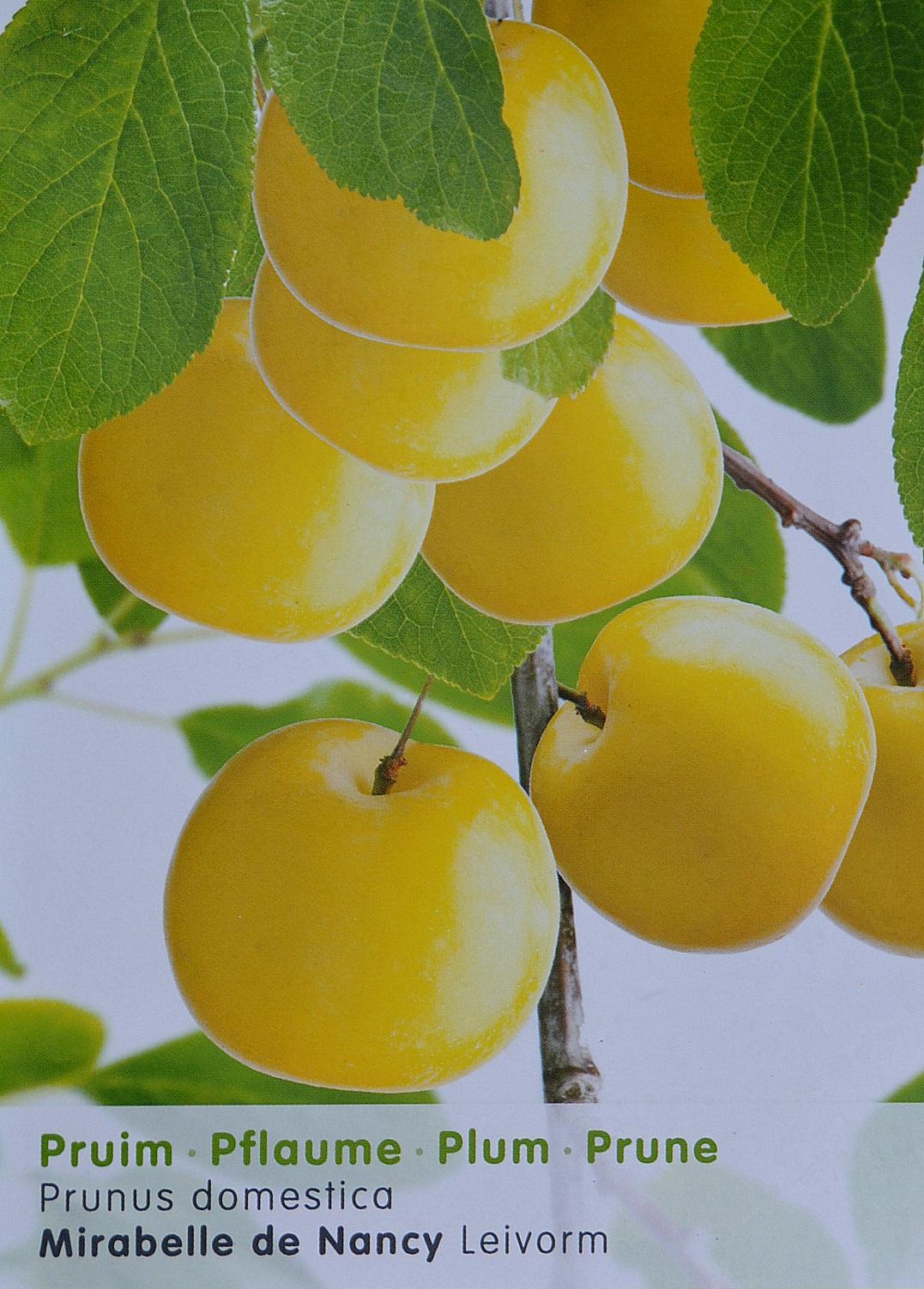 pruimenboom snoeien