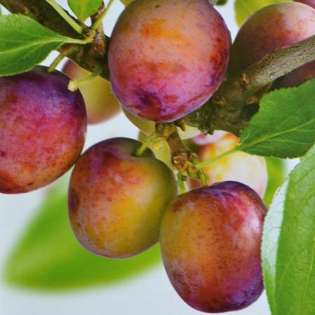 Prunus domestica 'Opal' - pruim