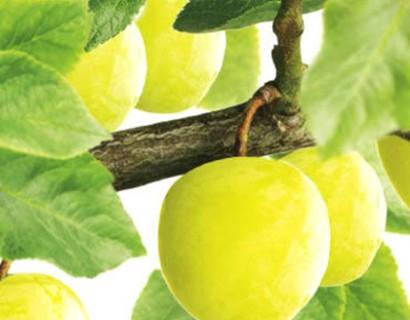 Prunus domestica 'Ontario'