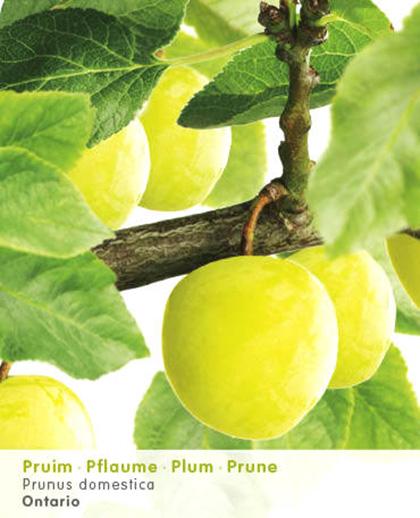 Prunus domestica 'Ontario' - pruim