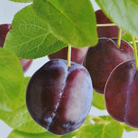 Prunus domestica 'Reine Claude d'Althan' of 'Conducta' - pruim