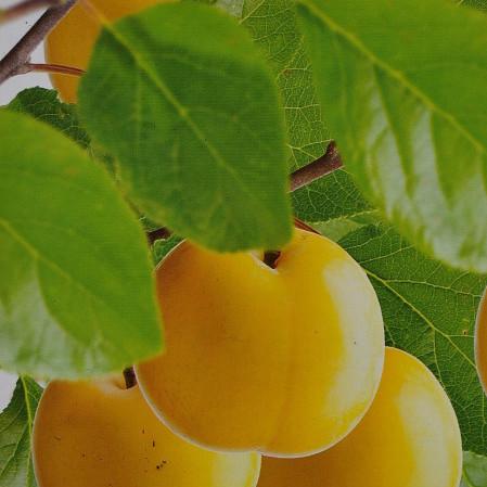 Prunus domestica 'Reine Claude d'Oullins' - pruim