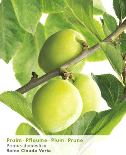 Prunus domestica 'Reine Claude Verte' - pruim