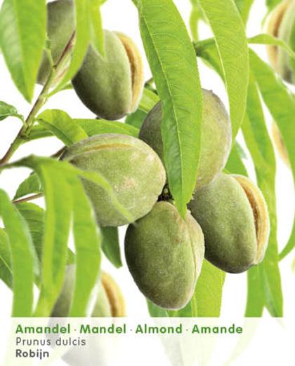 Prunus dulcis 'Robijn' - amandel