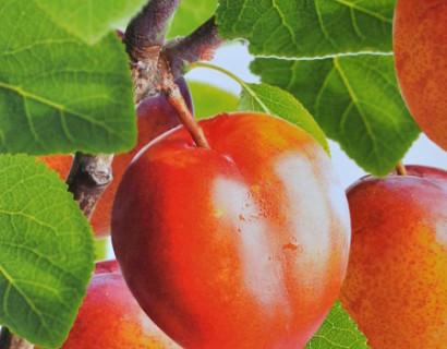 Prunus domestica 'Victoria' - pruim