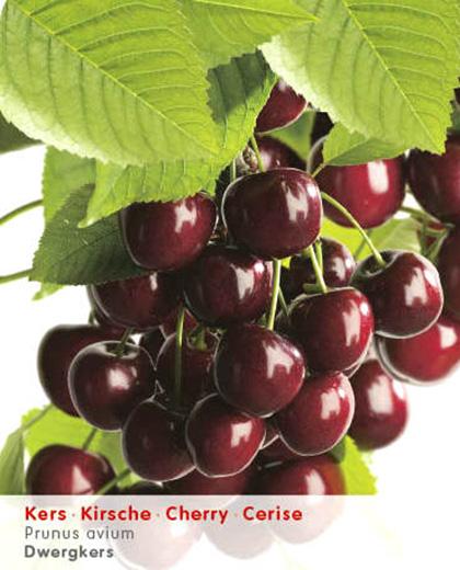 Prunus dwergkers - dwergkers