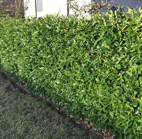 Prunus laurocerasus 'Caucasica' - donkere gewone laurier, paplaurier