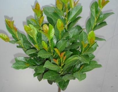 Prunus laurocerasus 'Etna' - bolprunus, laurierkers bolvorm