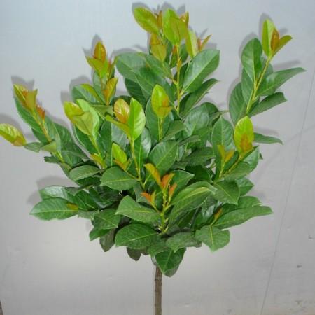 Prunus laurocerasus 'Etna' hoogstam bolvorm - bolprunus, laurierkers hoogstam bolvorm