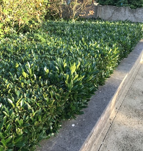 Prunus laurocerasus 'Otto Luycken' - laurierkers