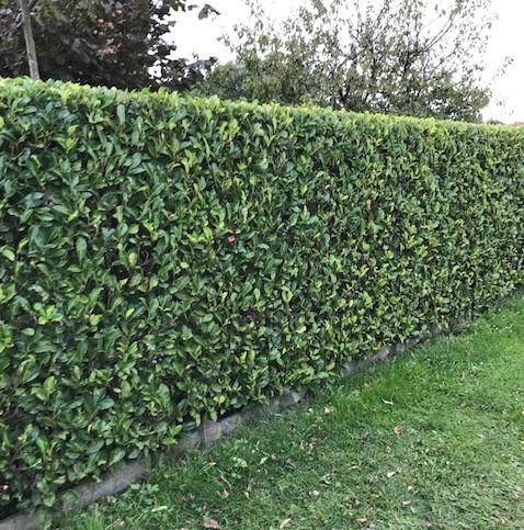 Prunus laurocerasus 'Rotundifolia' - gewone laurier, paplaurier