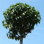 Prunus lusitanica of Portugese laurier planten als groenblijvende haag.