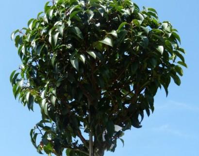 Prunus lusitanica - bolprunus, Portugese laurier bolvorm