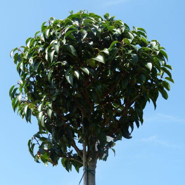 Portugese laurier planten als groenblijvende haag