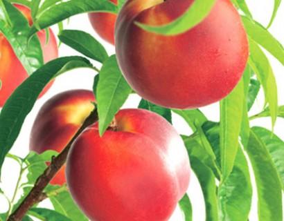 Prunus dwergnectarine - dwergnectarine