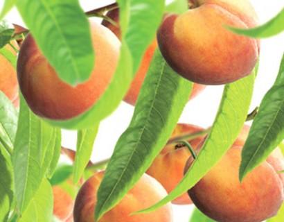 Prunus dwergperzik - dwergperzik