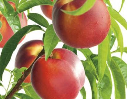 Prunus persica 'Mme Blanchet'