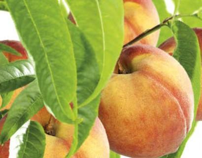 Prunus persica perzik