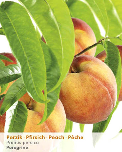 Prunus persica perzik - perzik