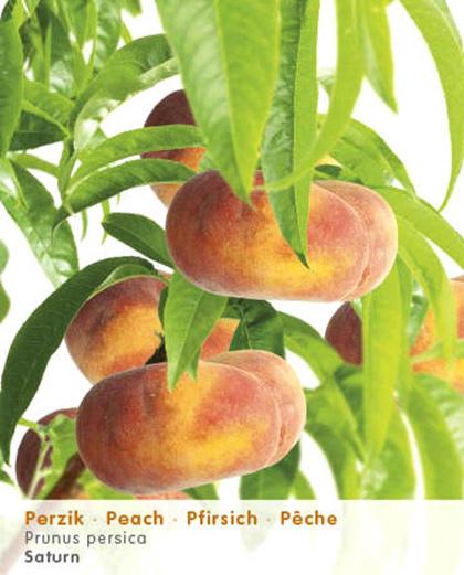 Prunus 'Saturn' fruitboom