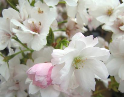 Prunus serrulata 'Amanogawa' - sierkers